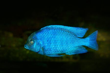 Copadichromis borleyi, cichlid fish endemic Lake Malawi in East Africa. Blue fish in the water. Fishkeeping hobby specie of fish. Dark water with animal.