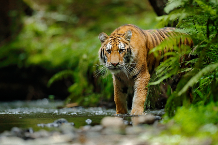 Amur tiger walking in river water. Danger animal, tajga, Russia. Animal in green forest stream. Grey stone, river droplet. Siberian tiger splash water. Tiger wildlife scene, wild cat, nature habitat. Stock Photo