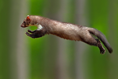 Jumping beech marten, small opportunistic predator, nature habitat. Stone marten, Martes foina, in typical european forest environment. Study of jump, flying cute forest animal. Action wildlife scene. Imagens