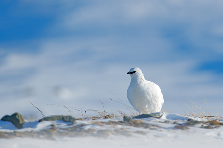 Rock Ptarmigan, Lagopus mutus, white bird sitting on snow, Norway. Cold winter, north of Europe. Wildlife scene in snow. White bird hidden in white habitat. Art view of nature.  Hidden in snow. Stock Photo