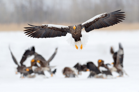 Wildlife scene, winter Japan nature. Flying rare eagle. Stellers sea eagle, Haliaeetus pelagicus, flying bird of prey, Hokkaido, Japan. Eagle with nature snowy habitat. Winter snow, flock birds. Stock Photo