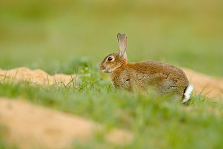 Rabbit in spring flowers. Cute rabbit with flower dandelion sitting in grass. Animal nature habitat, life in meadow. European rabbit or common rabbit, Oryctolagus cuniculus, hidden grass. Stock Photo