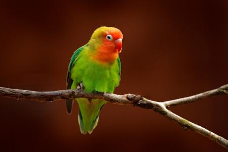 Nyasa Lovebird of de dwergpapegaai van Lilian, Agapornis-lilianae, groene exotische vogelzitting op de boom, Namibië, Afrika. Mooie papegaai in de natuur habitat. Bruine duidelijke achtergrond. Vogel in de wilde natuur.