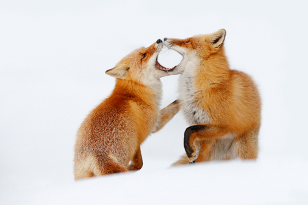 Red fox pair playing in the snow. Funny moment in nature. Winter scene with orange fur wild animal. Red Fox in snow winter, Wildlife scene from Hokkaido, Japan. Two animals with open muzzle. Fox love. Stock Photo