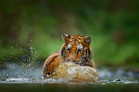 Amur tiger playing in river water. Danger animal, tajga, Russia. Animal in green forest stream. Grey stone, river droplet. Siberian tiger splash water. Tiger wildlife scene, wild cat, Nature habitat.
