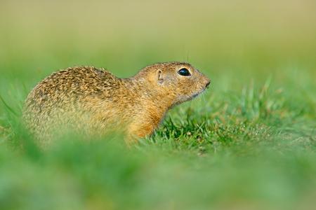 European Ground Squirrel, Spermophilus citellus, sitting in the green grass during summer, detail animal portrait, Czech Republic. Wildlife scene from nature. Animal hidden in the grass. Spring time.