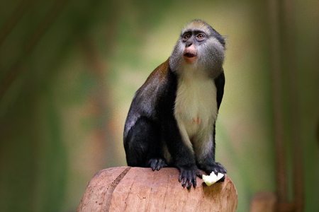 Campbells mona monkey or Campbells guenon monkey, Cercopithecus campbelli, in nature habitat. Animal forest. PRimate from  Ivory Coast, Gambia, Ghana, Guinea, Guinea-Bissau, Liberia, Senegal, Africa. Stock Photo