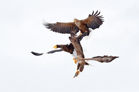 Eagle fight with fish. Winter scene, birds of prey. Big eagles, snow sea. Flight White-tailed eagle, Hokkaido, Japan, Asia. Action wildlife scene on sky. Eagle in fly.  Three eagles. Animal behaviour.