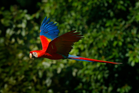 Red parrot in fly. Scarlet Macaw, Ara macao, in tropical forest, Costa Rica, Wildlife scene from tropic nature. Red bird in the forest. Parrot flight in the green jungle habitat.  스톡 콘텐츠
