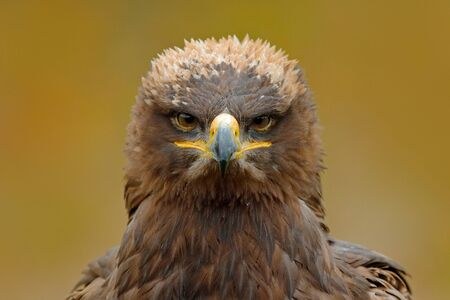 Detail portrait of eagle. Bird in the grass. Steppe Eagle, Aquila nipalensis, sitting in the grass on meadow, forest in background. Wildlife scene from nature. Bird with bill. Stock Photo