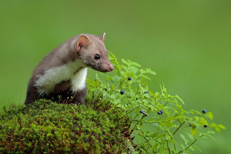 Beech marten, Martes foina, and bilberry with clear green background. Stone marten, detail portrait of forest animal. Small predator sitting on the green moss stone in the forest. Wildlife France.