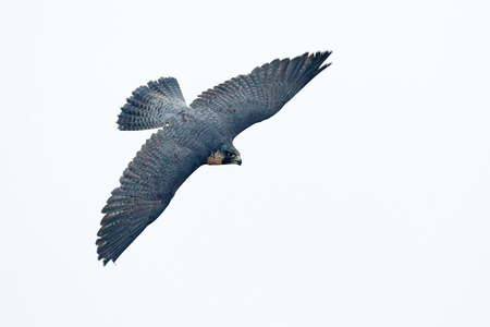 Flight of Peregrine Falcon. Bird of prey with fly wings. White light sky background. Action scene in the nature tree habitat, Germany. Wildlife scene from nature.