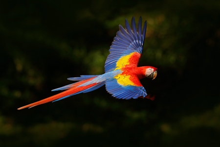 Red parrot fly in dark green vegetation. Scarlet Macaw, Ara macao, in tropical forest, Costa Rica, Wildlife scene from tropic nature. Red bird in the forest. Parrot flight in the green jungle habitat. Imagens