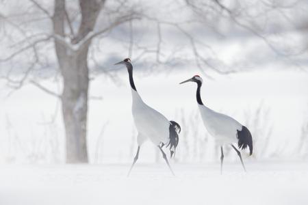 赤冠クレーン、吹雪、北海道、日本のダンスペア。ハエの鳥、雪の冬のシーン。自然の中で雪が踊る。雪の自然からの野生動物のシーン。雪の多い