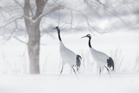Dancing pair of Red-crowned crane, snow storm, Hokkaido, Japan. Bird in fly, winter scene with snow. Snow dance in nature. Wildlife scene from snowy nature. Snowy winter. Two birds on meadow. 스톡 콘텐츠