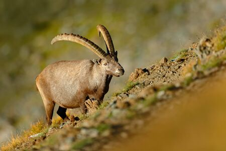 Antler Alpine Ibex, Capra ibex, scratching animal with coloured rocks in background, animal in the nature habitat, France. Wildlife action scene from the Alp. Ibex in stone. Wildlife scene from Alp. Stock Photo