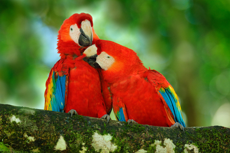 Red bird love. Pair of big parrot Scarlet Macaw, Ara macao, two birds sitting on branch, Costa rica. Wildlife love scene from tropic forest nature. Two beautiful parrot on tree branch, nature habitat. Stockfoto