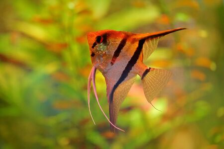 Pterophyllum scalare Angelfish, nature green habitat. Orange and pink fish in river water. Water vegetation with Angelfish. Stock Photo