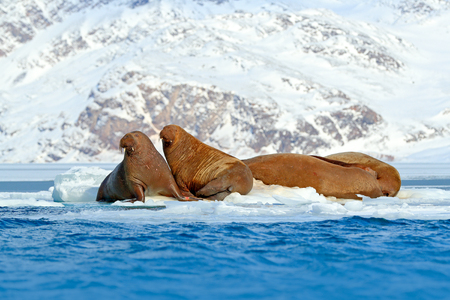 Family on cold ice. Walrus, Odobenus rosmarus, stick out from blue water on white ice with snow, Svalbard, Norway. Mother with cub. Young walrus with female. Winter Arctic landscape with big animal. Reklamní fotografie