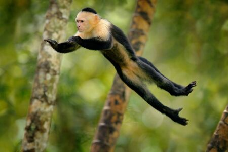 Monkey jump. Mammal in fly. Flying black monkey White-headed Capuchin, tropic forest. Animal in the nature habitat, humorous behaviour. Funny image from nature with monkey. Wildlife in Costa Rica. Foto de archivo