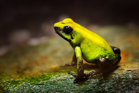 Golden Poison Frog, Phyllobates terribilis, yellow poison frog in tropic nature. Small Amazon frog in nature habitat. Wildlife scene from Colombia. River animal sitting on wet stone in rain. Forest. Stock Photo
