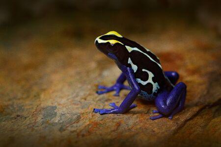 Poison frog, blue frog in tropic nature. Blue and yellow Amazon Dyeing Poison Frog, Dendrobates tinctorius, wildlife habitat. Wildlife scene from Brazil. Venomous toxic amphibian on the river stone. Stock Photo