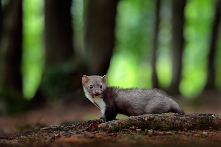 Beech marten, detail portrait of forest animal. Small predator in the nature habitat. Wildlife scene, Germany. Trees with marten. Stone marten, Martes foina, with green forest background.
