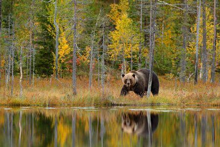 隠された黄色い森にクマ。クマと秋の木、鏡の反射。湖の周りを歩く美しいヒグマ、秋の色。危険な動物、自然の木、牧草地の生息地。野生動物の