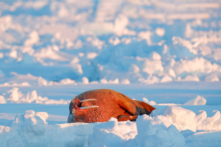 Walrus, Odobenus rosmarus, stick out from blue water on white ice with snow, Svalbard, Norway. Winter landscape with big animal. Snowy Arctic landscape with big animal. Walrus on cold ice with snow. Stock Photo
