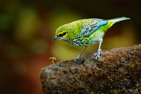 Speckled Tanagers, Tangara guttata, sitting on the brown stone. Tropic bird in the nature habitat. Wildlife in Costa Rica. Yellow and green mountain bird in the dark green forest, clear background.