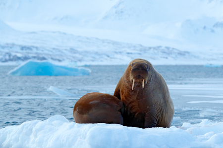 Young walrus with female. Winter Arctic landscape with big animal. Family on cold ice. Walrus, Odobenus rosmarus, stick out from blue water on white ice with snow, Svalbard, Norway. Mother with cub.
