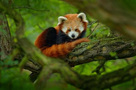 Panda vermelha que encontra-se na árvore com folhas verdes. Urso de panda bonito no habitat da floresta. Cena dos animais selvagens na natureza, Chengdu, Sichuan, China.