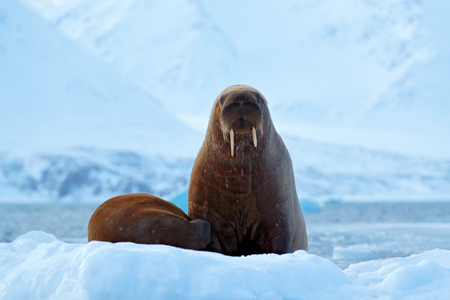 Walrus, Odobenus rosmarus, stick out from blue water on white ice with snow, Svalbard, Norway. Mother with cub. Young walrus with female. Winter Arctic landscape with big animal. Family on cold ice.