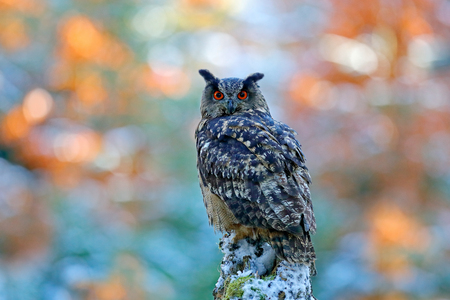 Winter and autumn forest with beautiful bird. Eurasian Eagle Owl, Bubo Bubo, sitting on the tree stump, close-up, wildlife photo in the forest, orange autumn colour, Norway. Colour background with owl.