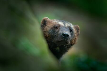 Detail portrait of wild wolverine. Face portrait of wolverine. Hidden Wolverine in Finland tajga. Animal in stone forest. Raptor in the nature. Mammal in north Europe. Dangerous animal. Stock Photo
