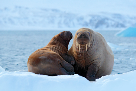 Family on cold ice. Walrus, Odobenus rosmarus, stick out from blue water on white ice with snow, Svalbard, Norway. Mother with cub. Young walrus with female. Winter Arctic landscape with big animal. Stockfoto