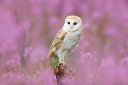 Beautiful nature scene with owl and pink flowers. Barn Owl in light pink bloom, clear foreground and background, Czech Republic. Wildlife art scene from nature with bird. Owl in the meadow habitat.