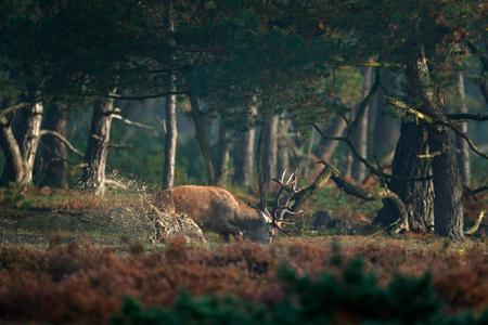 Red deer in water pond, rutting season, Hoge Veluwe,  Netherlands. Deer stag, bellow majestic powerful adult animal outside wood. Wildlife scene, nature. Heath Moorland, autumn animal behaviour.
