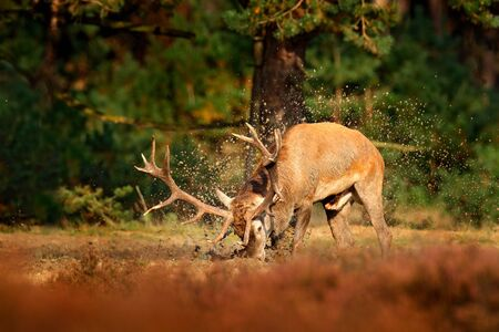 Red deer, rutting season, mud clay water bath. Deer stag, bellow majestic powerful adult animal outside wood, big animal in forest habitat,  Wildlife scene, nature. Heath Moorland, autumn behaviour. Stock Photo