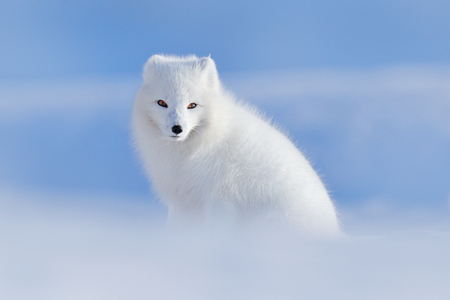White polar fox in habitat, winter landscape, Svalbard, Norway. Beautiful animal in snow. Sitting fox. Wildlife action scene from nature, Vulpes lagopus, in the nature habitat. Cold winter with fox.  Stockfoto