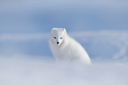 Polar fox in habitat, winter landscape, Svalbard, Norway. Beautiful animal in snow. Sitting white fox. Wildlife action scene from nature, Vulpes lagopus, in the nature habitat. Cold winter with fox.  Stock Photo