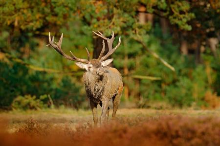 Red deer, rutting season, Netherlands. Deer stag, bellow majestic powerful adult animal outside wood, big animal in forest habitat,  Wildlife scene, nature. Heath Moorland, autumn animal behaviour.