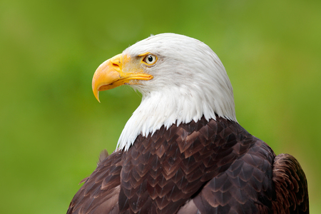Bald Eagle, Haliaeetus leucocephalus, portrait of brown bird of prey with white head, yellow bill, symbol of freedom of the United States of America, Alaska, USA. Beautiful detail portrait of bird. Stock Photo