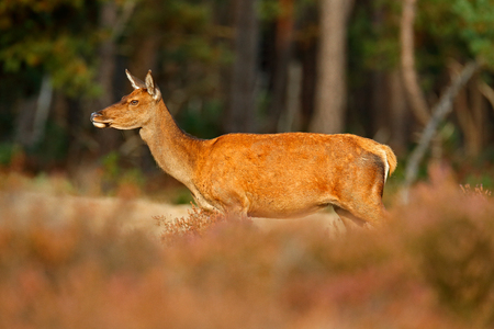Hind doe of red deer, rutting season, Hoge Veluwe. Deer stag, bellow majestic powerful adult animal outside wood, animal in forest habitat, wildlife nature. Heath Moorland, autumn animal behaviour. 写真素材