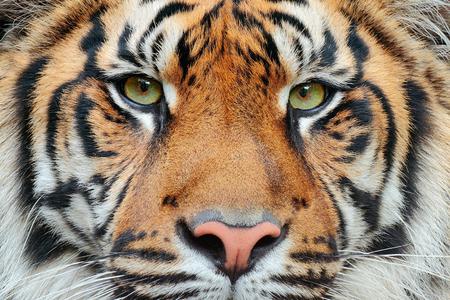 Close-up detail portrait of tiger. Sumatran tiger, Panthera tigris sumatrae, rare tiger subspecies that inhabits the Indonesian island of Sumatra. Beautiful face portrait of tiger. Striped fur coat.