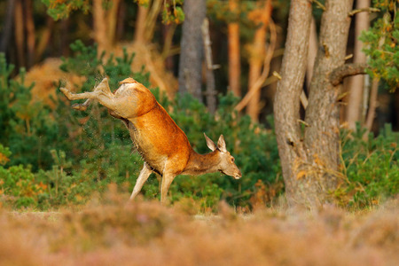 Jumping Red deer, rutting season, Hoge Veluwe,  Netherlands. Deer stag, bellow majestic powerful adult animal outside wood, big animal in forest habitat,  Wildlife scene, nature, hind doe jump.