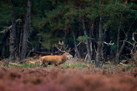 Red deer, rutting season, Czech Republic. Deer stag, bellow majestic powerful adult animal outside wood, big animal in forest habitat,  Wildlife scene, nature. Heath Moorland, autumn animal behaviour. Stock Photo