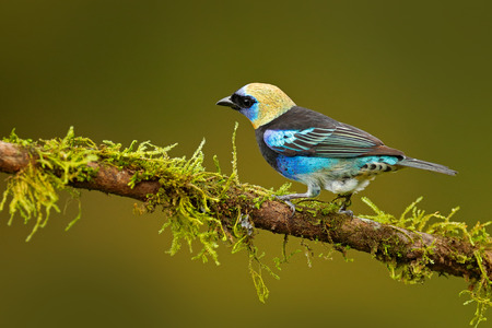 Golden-hooded Tanager, Tangara larvata, exotic tropic blue bird with gold head from Costa Rica. Tanager sitting on the branch. Green moss stick in the forest with bird. Wildlife scene from nature.