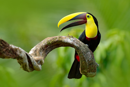 Bird with open bill. Big beak bird Chesnut-mandibled Toucan sitting on the branch in tropical rain with green jungle background. Wildlife scene from nature with beautiful bird with big bill. Foto de archivo