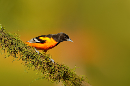 Baltimore Oriole, Icterus galbula, sitting on the orange and green moss branch. Tropic bird in the nature habitat. Widlife in Costa Rica. Mountain bird in the dark green forest, clear background.